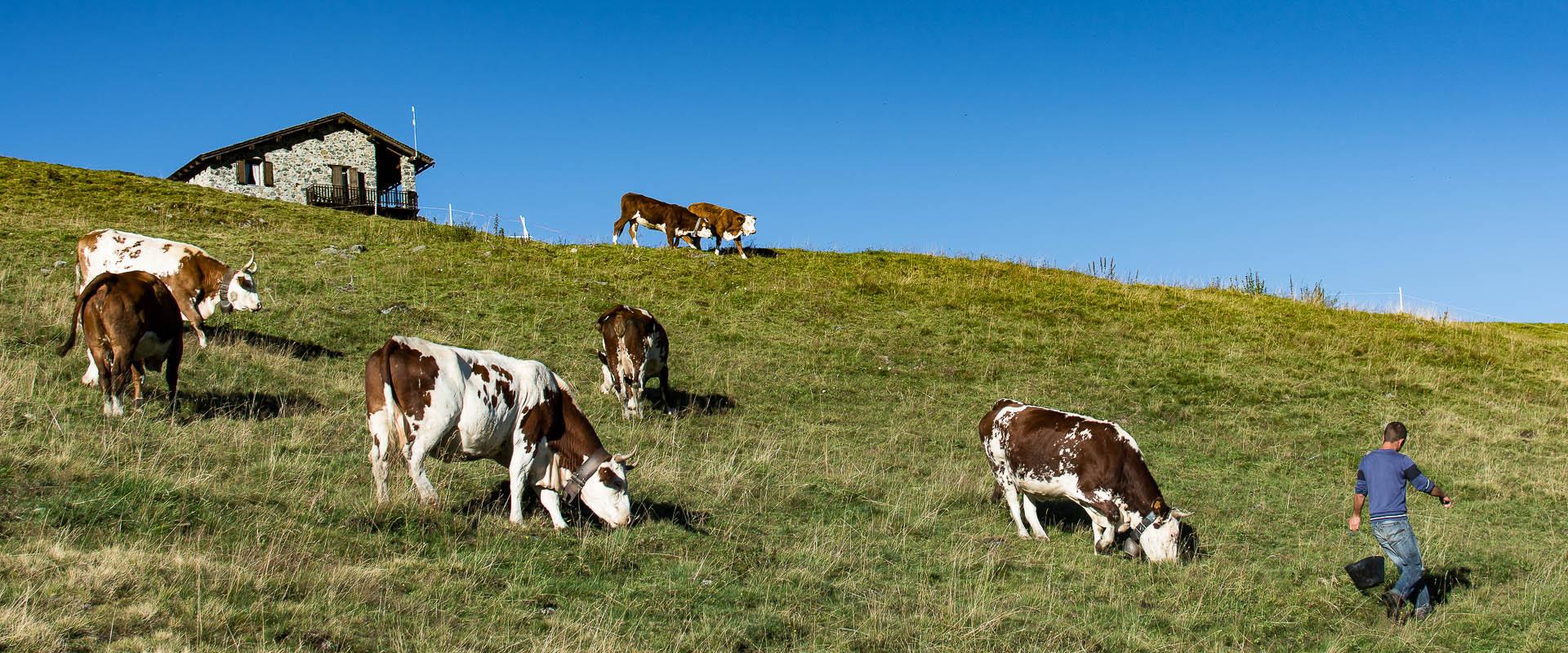 alpemoncerchio-mucche-con-margaro