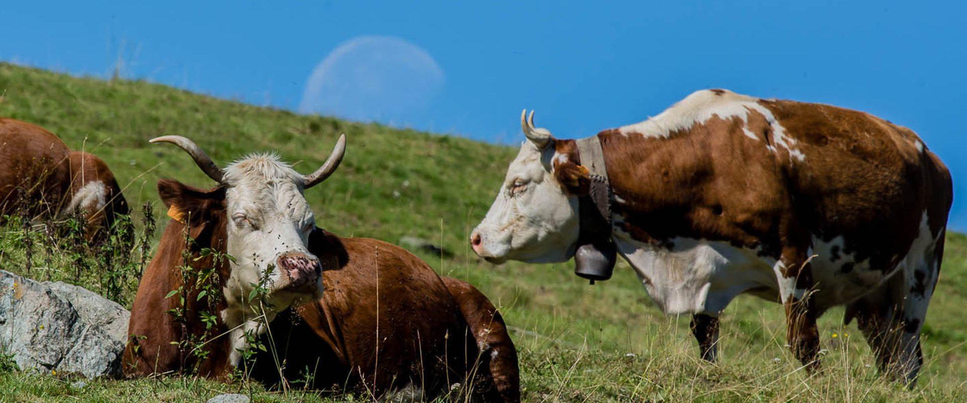 mucche-con-luna-calante-3-agriturismo-alpemoncerchio