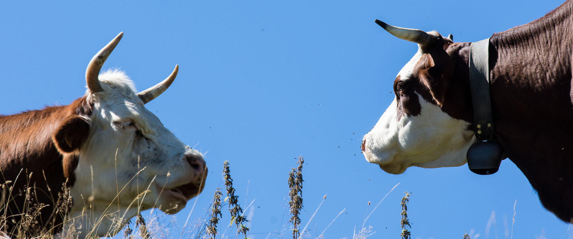 alpemoncerchio-mucche-dialoganti